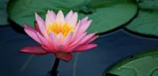 Lotus_out_of_the_mud